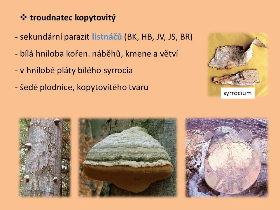  troudnatec kopytovitý - sekundární parazit listnáčů (BK, HB, JV, JS, BR) - bílá hniloba kořen. náběhů, kmene a větví - v hnilobě pláty bílého syrroc