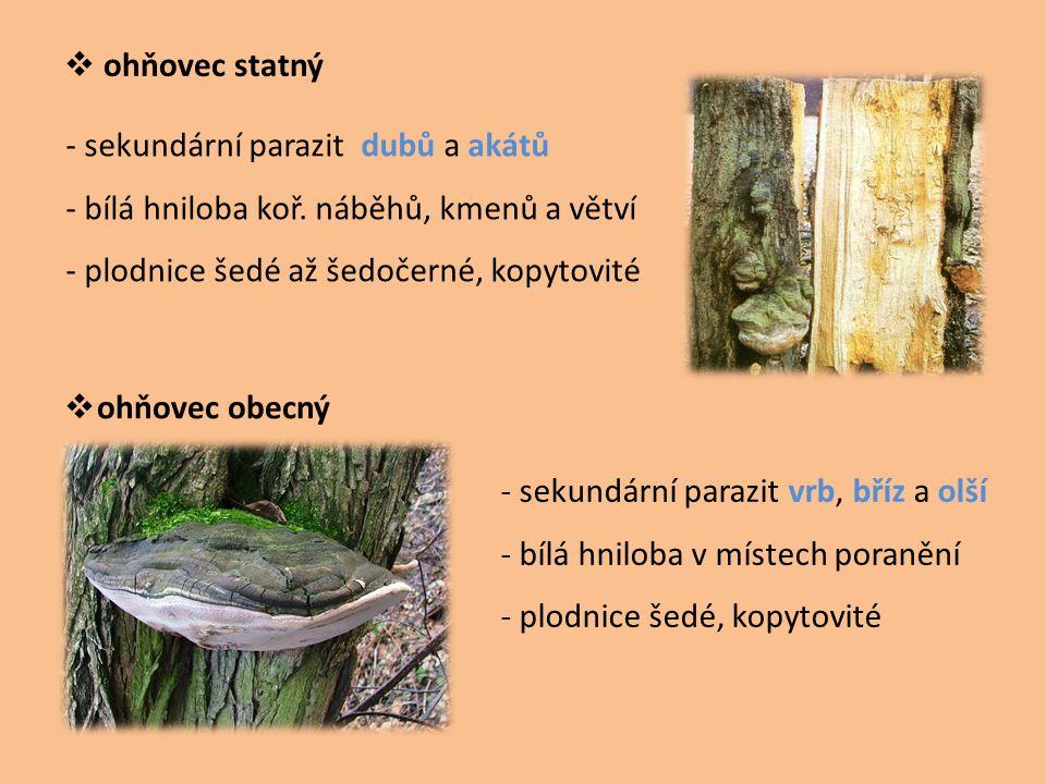  ohňovec statný  ohňovec obecný - sekundární parazit dubů a akátů - bílá hniloba koř. náběhů, kmenů a větví - plodnice šedé až šedočerné, kopytovité
