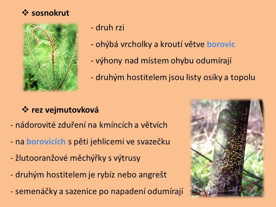  sosnokrut  rez vejmutovková - druh rzi - ohýbá vrcholky a kroutí větve borovic - výhony nad místem ohybu odumírají - druhým hostitelem jsou listy o