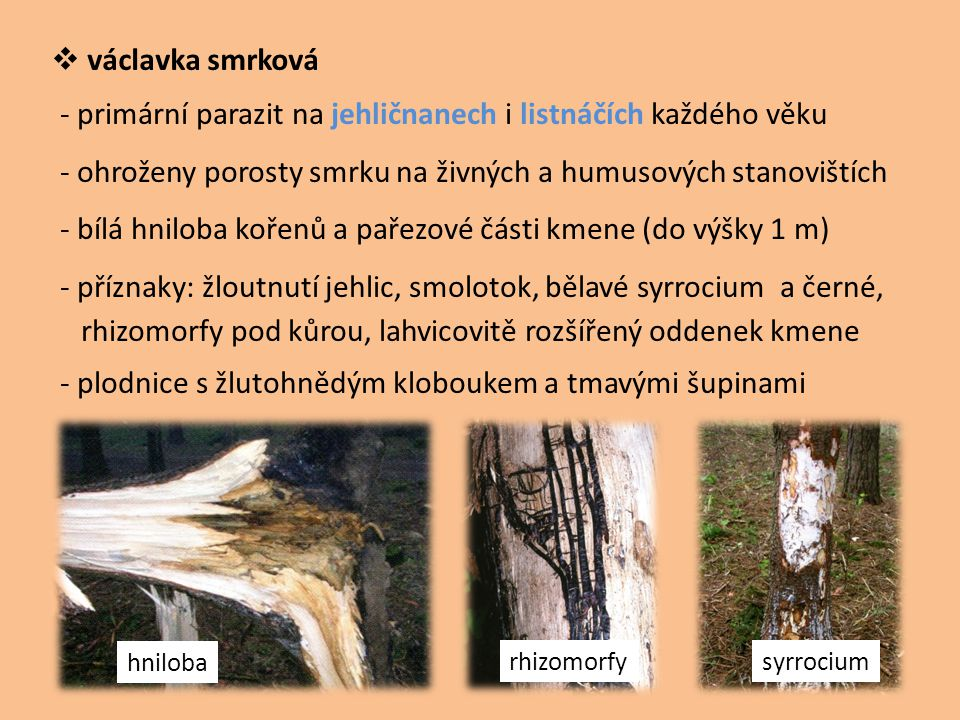  václavka smrková - primární parazit na jehličnanech i listnáčích každého věku - ohroženy porosty smrku na živných a humusových stanovištích - bílá h