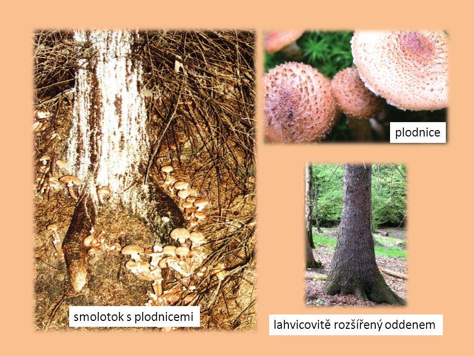  kořenovník vrstevnatý - primární parazit jehličnanů, méně listnáčů každého věku - ohroženy porosty na podmáčených a vápencových půdách - červená hniloba kořenů a spodní části kmene do výšky 12 m - plodnice rozlité nebo konzolovitě bokem přirostlé, vrchní strana je tmavě hnědá, spodní strana bělavá hniloba kmene plodnice