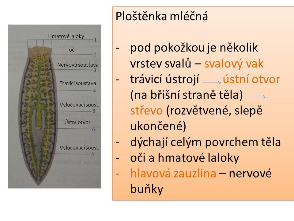 Ploštěnka mléčná -pod pokožkou je několik vrstev svalů – svalový vak -trávicí ústrojí ústní otvor (na břišní straně těla) střevo (rozvětvené, slepě uk