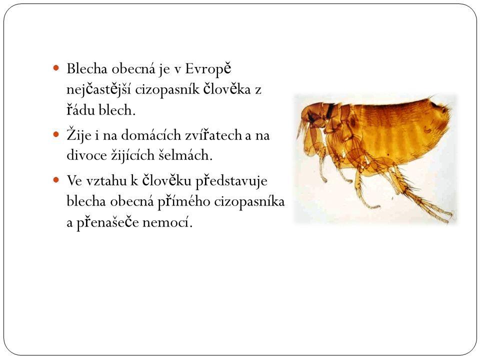 Blecha obecná je v Evrop ě nej č ast ě jší cizopasník č lov ě ka z ř ádu blech. Žije i na domácích zví ř atech a na divoce žijících šelmách. Ve vztahu