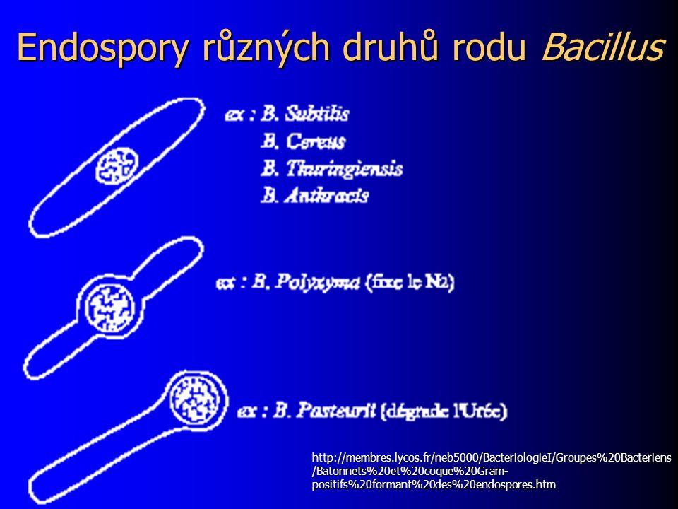 Endospory různých druhů rodu Bacillus http://membres.lycos.fr/neb5000/BacteriologieI/Groupes%20Bacteriens /Batonnets%20et%20coque%20Gram- positifs%20f