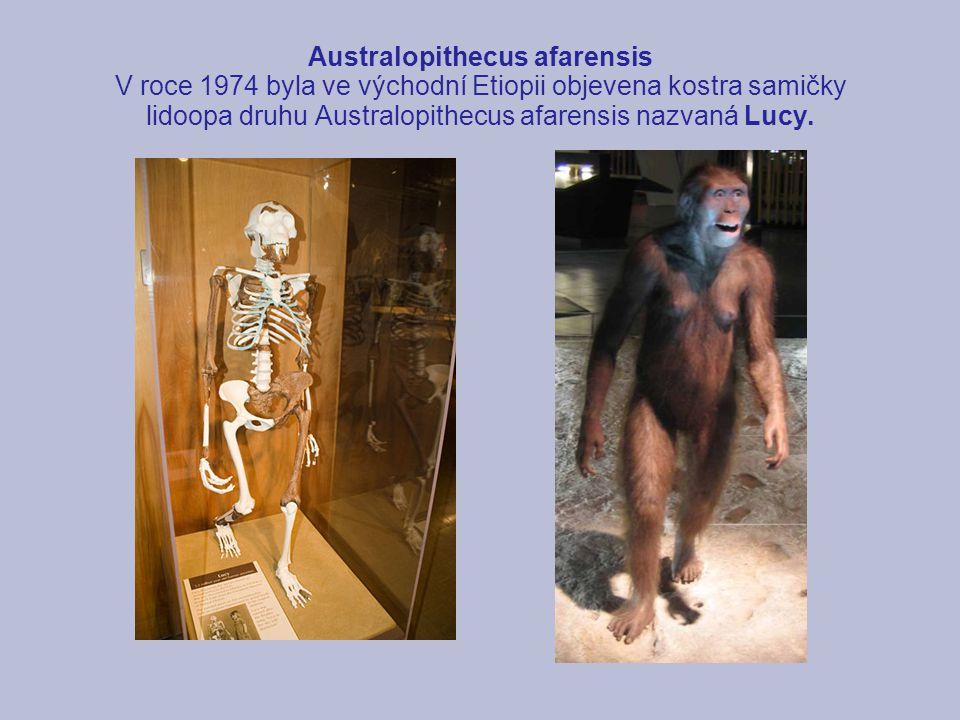 Australopithecus afarensis V roce 1974 byla ve východní Etiopii objevena kostra samičky lidoopa druhu Australopithecus afarensis nazvaná Lucy.