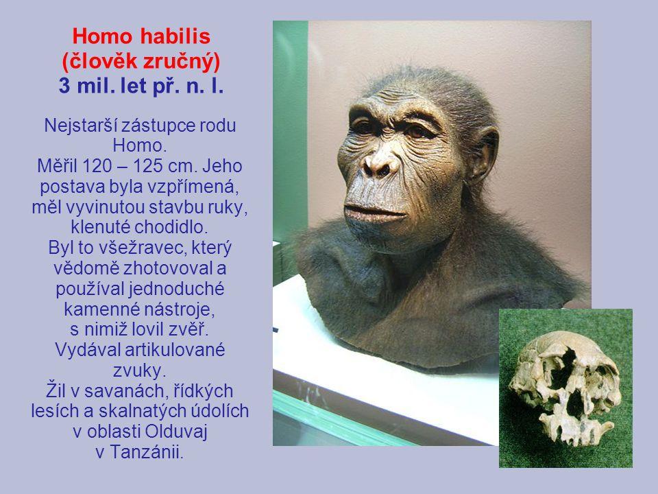 Homo habilis (člověk zručný) 3 mil. let př. n. l. Nejstarší zástupce rodu Homo. Měřil 120 – 125 cm. Jeho postava byla vzpřímená, měl vyvinutou stavbu