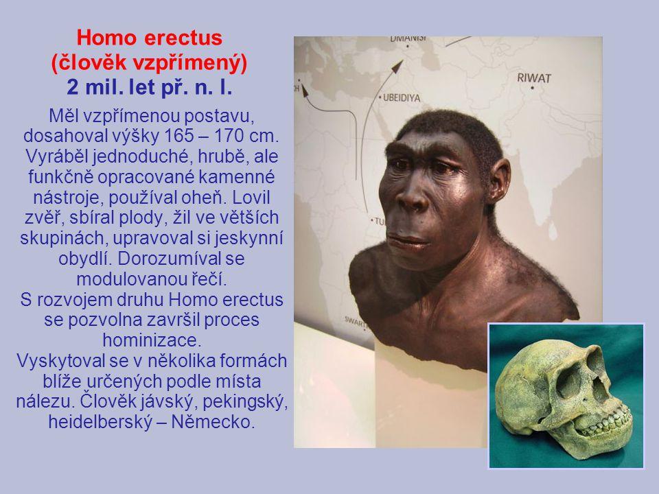 Homo erectus (člověk vzpřímený) 2 mil. let př. n. l. Měl vzpřímenou postavu, dosahoval výšky 165 – 170 cm. Vyráběl jednoduché, hrubě, ale funkčně opra