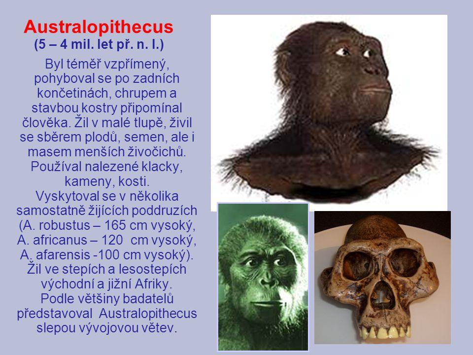 Australopithecus (5 – 4 mil. let př. n. l.) Byl téměř vzpřímený, pohyboval se po zadních končetinách, chrupem a stavbou kostry připomínal člověka. Žil