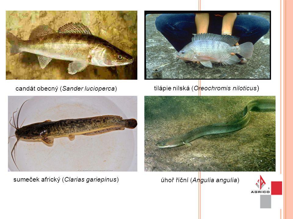 Uzavřený recirkulační systém chovu ryb (RAS) V RAS dochází lepšímu využití krmiva rybami Udržovaná optimální teplota vody umožňuje větší přírůstky ryb Malé nároky na zastavěnou plochu Vyšší produktivita práce Nízká spotřeba vody (3 m3 vody/den) u roční produkce 250 tun ryb Voda využívaná v RAS je čištěna a tím neovlivňuje složení vod pod tímto zařízením (recipient) Provoz RAS je nezávislý na měnících se přírodních a klimatických podmínkách