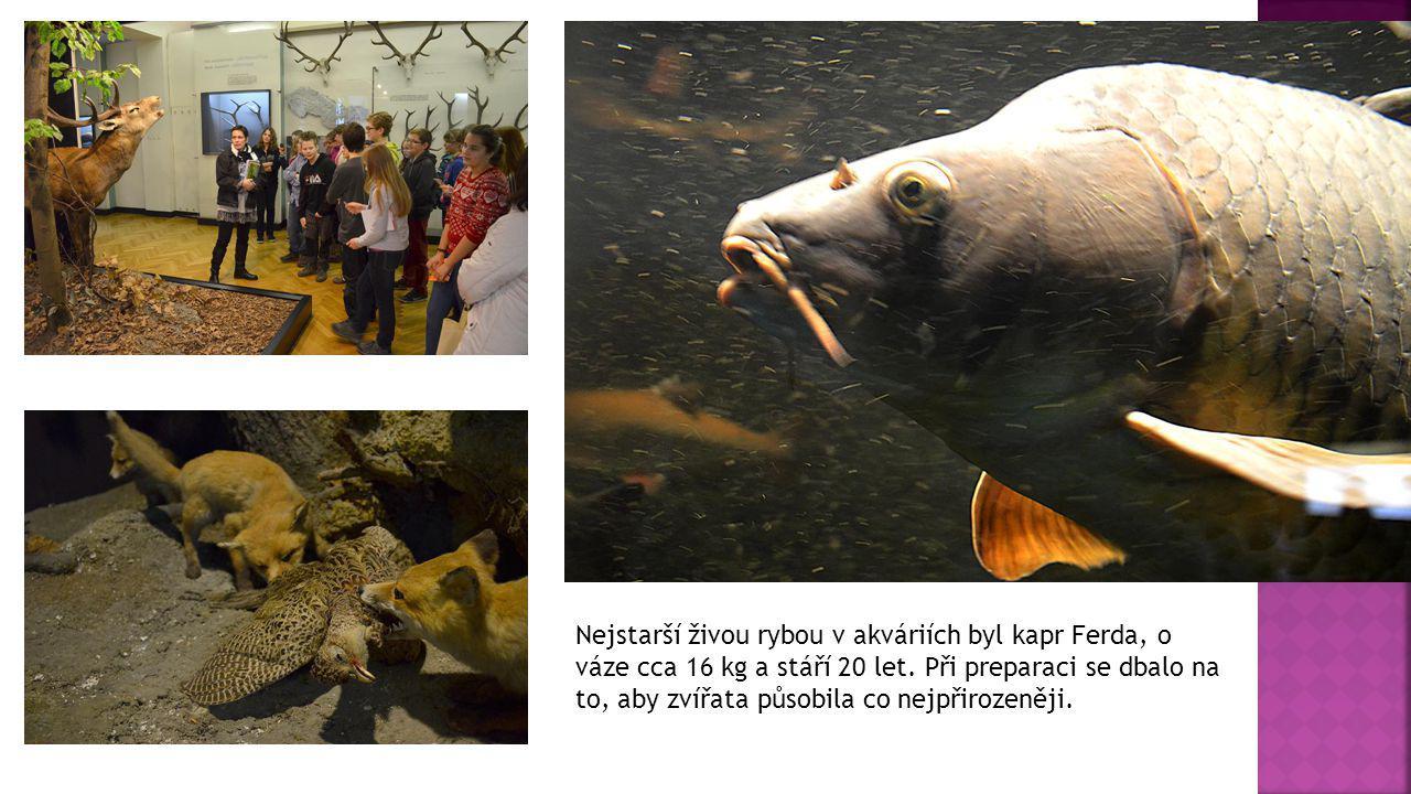 Nejstarší živou rybou v akváriích byl kapr Ferda, o váze cca 16 kg a stáří 20 let.