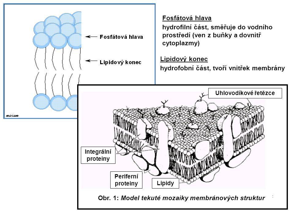 5 Fosfátová hlava hydrofilní část, směřuje do vodního prostředí (ven z buňky a dovnitř cytoplazmy) Lipidový konec hydrofobní část, tvoří vnitřek membr