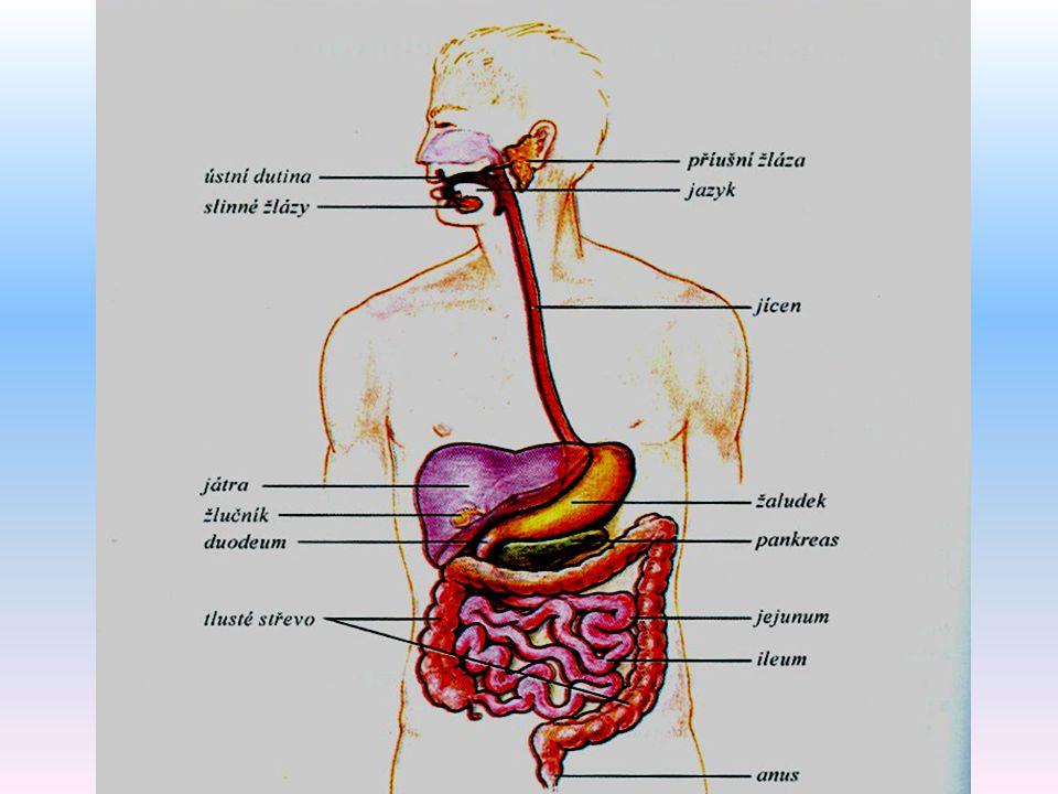 Duodenum - dvanáctník   Řídí sekreci a vyprazdňování žaludku (nervově a humorálně – GIP, sekretin, CCK a somatostatin)   Na Vaterskou papilu ústí vývody pankreatu a žlučníku => trávicí enzymy, pankreatická šťáva a žluč   Vstřebávání vit.