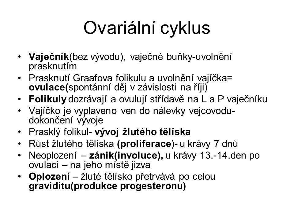 Ovariální cyklus Vaječník(bez vývodu), vaječné buňky-uvolnění prasknutím Prasknutí Graafova folikulu a uvolnění vajíčka= ovulace(spontánní děj v závis