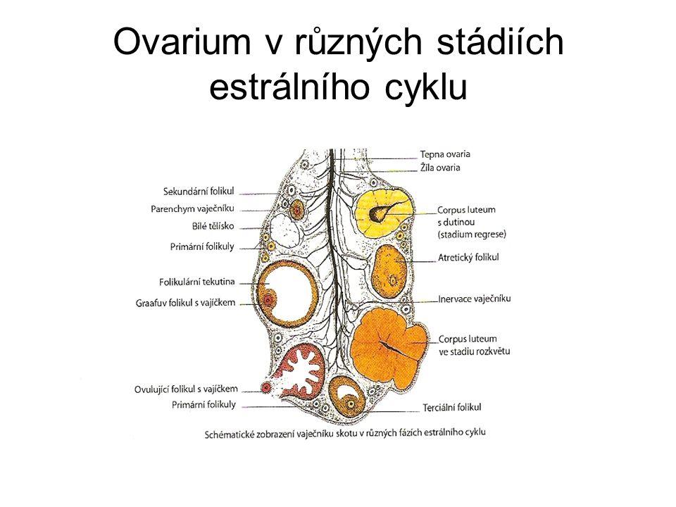 """Reprodukční cyklus samic (estrální) Pohlavní hormony vaječníku(estrogeny, progesteron)- působí změny i na ostatních pohlavních (uterinní…orgánech, změny mléčné žlázy Zevní projevy změn= říje, celý cyklus= """" estrální Uterinní cyklus(děložní)=vytvoření vhodného prostředí pro spermie(kapacitace), vyživa oplozeného vajíčka do nidace a příprava děložní sliznice -Fázi proliferační(nástup říje a prokrvení sliznice- zvětšení dělohy), sekreční(produkce děložního sekretu a involuci( po období zrání žlutého tělíska-nedojde k oplození)= snižování sekrece a zmenšení dělohy"""
