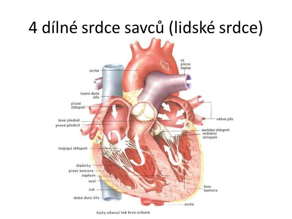 4 dílné srdce savců (lidské srdce)