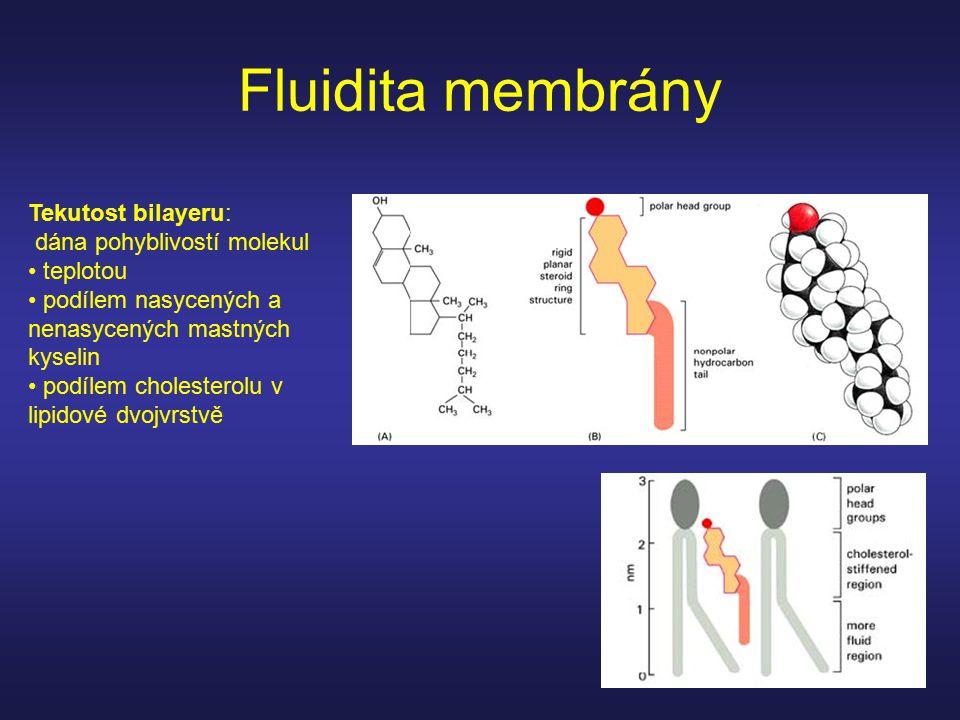 Fluidita membrány Tekutost bilayeru: dána pohyblivostí molekul teplotou podílem nasycených a nenasycených mastných kyselin podílem cholesterolu v lipi