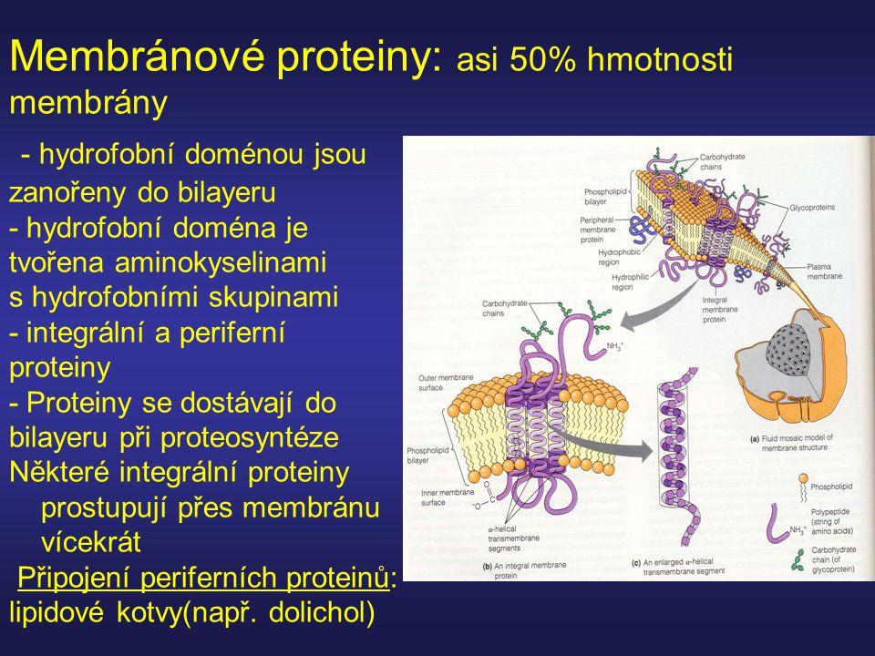 Membránové proteiny: asi 50% hmotnosti membrány - hydrofobní doménou jsou zanořeny do bilayeru - hydrofobní doména je tvořena aminokyselinami s hydrof