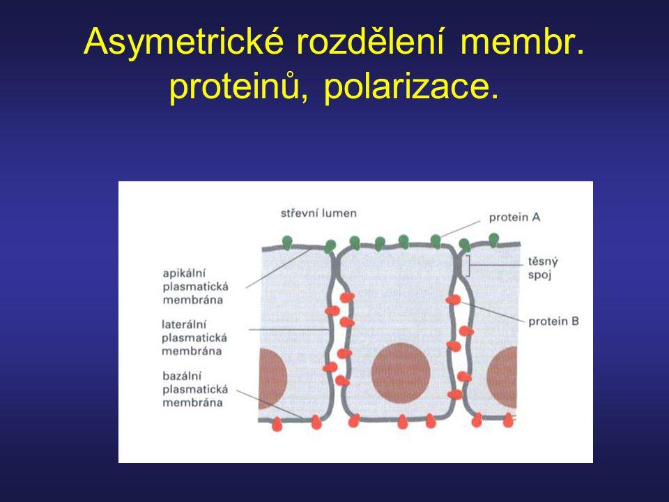 Asymetrické rozdělení membr. proteinů, polarizace.