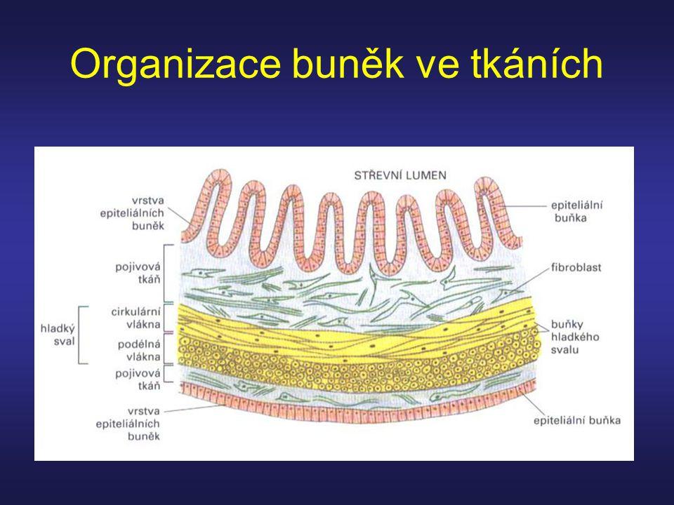 Organizace buněk ve tkáních