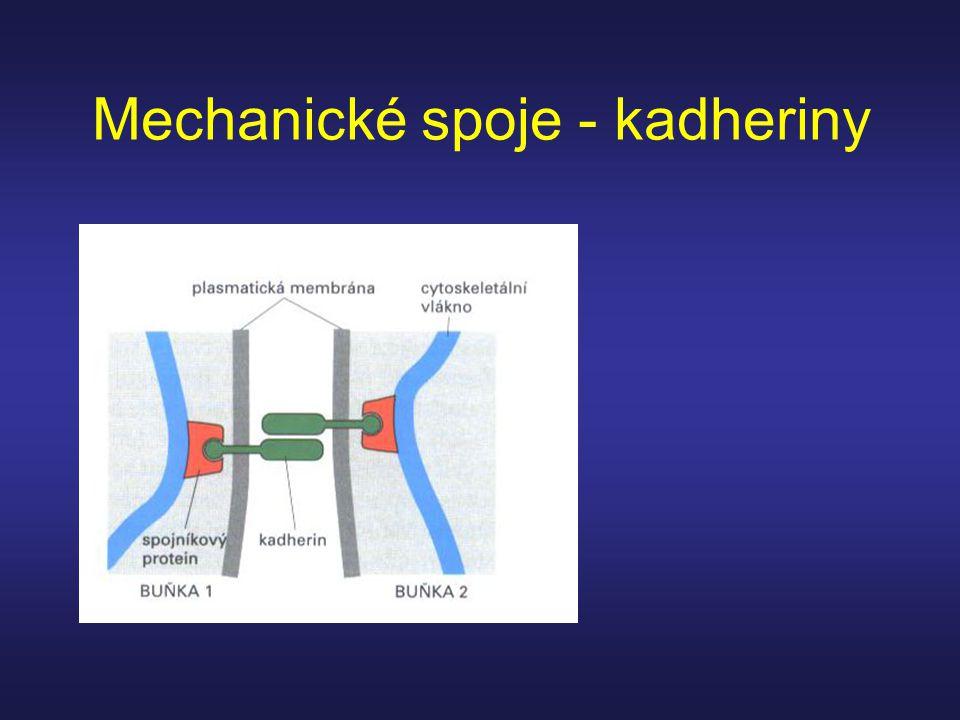 Mechanické spoje - kadheriny