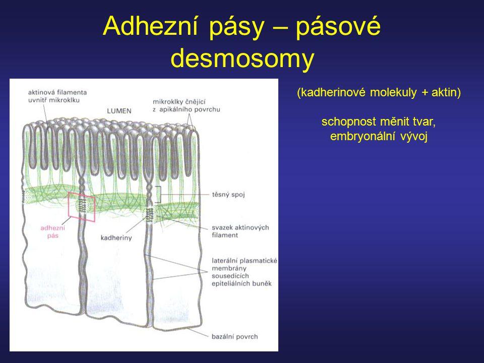 Adhezní pásy – pásové desmosomy (kadherinové molekuly + aktin) schopnost měnit tvar, embryonální vývoj