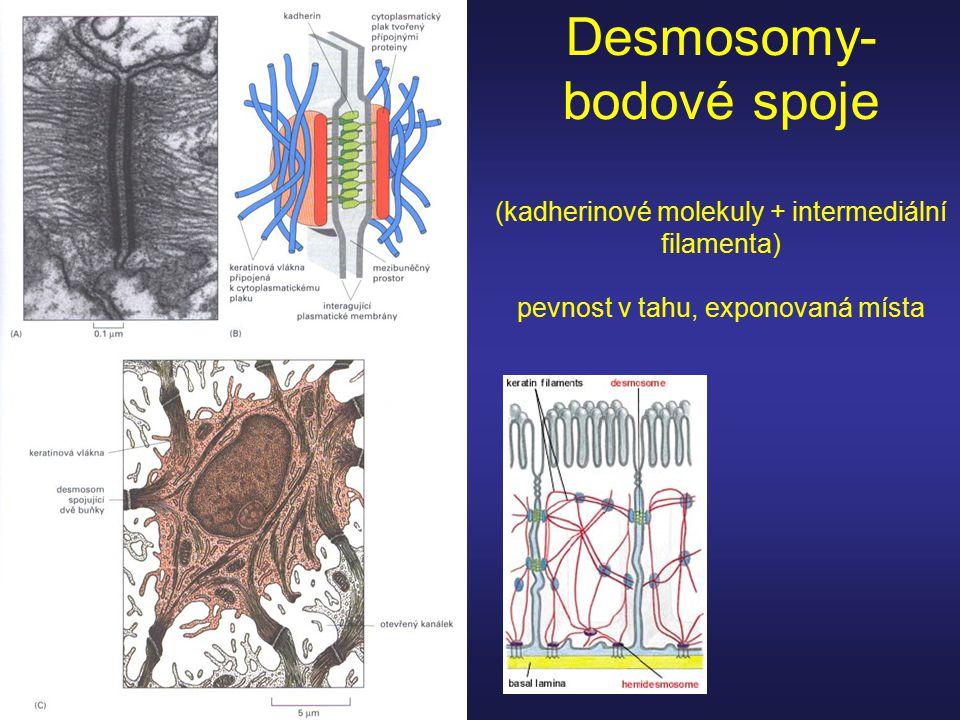 Desmosomy- bodové spoje (kadherinové molekuly + intermediální filamenta) pevnost v tahu, exponovaná místa