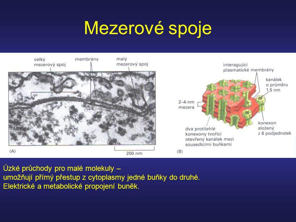 Mezerové spoje Úzké průchody pro malé molekuly – umožňují přímý přestup z cytoplasmy jedné buňky do druhé. Elektrické a metabolické propojení buněk.