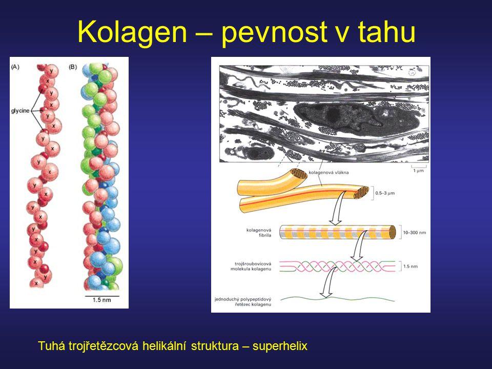 Kolagen – pevnost v tahu Tuhá trojřetězcová helikální struktura – superhelix