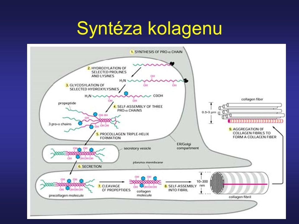 Syntéza kolagenu