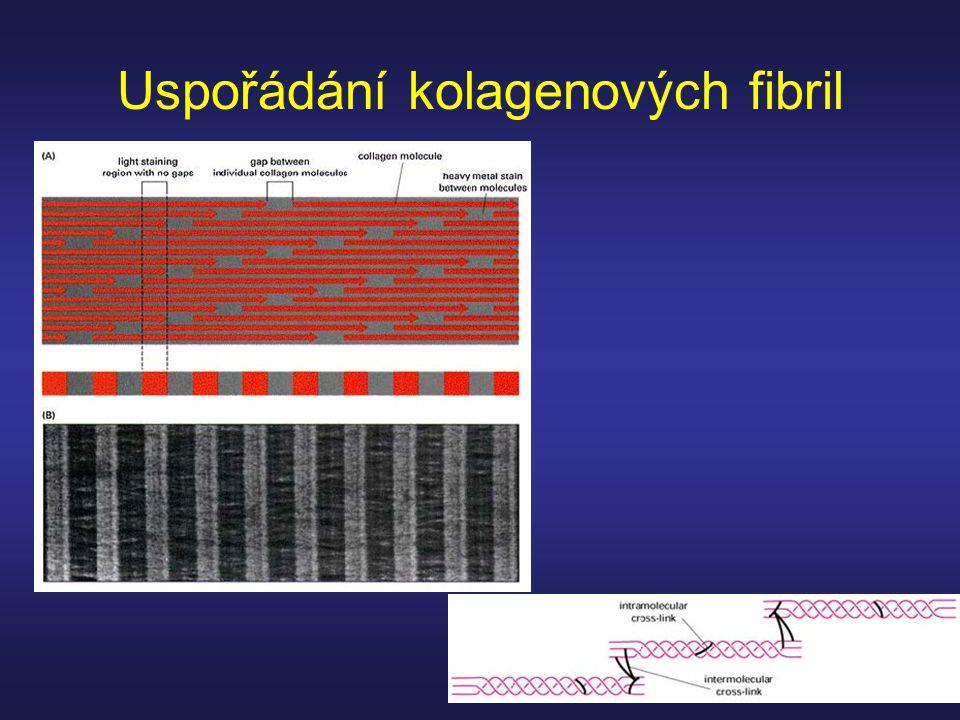 Uspořádání kolagenových fibril