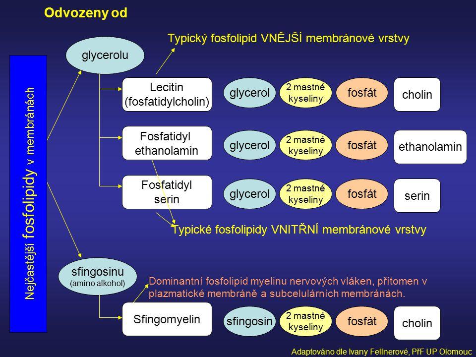 glycerolu sfingosinu (amino alkohol) Odvozeny od Typický fosfolipid VNĚJŠÍ membránové vrstvy Lecitin (fosfatidylcholin) Fosfatidyl ethanolamin Fosfati
