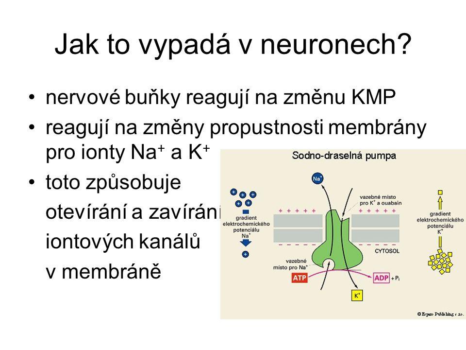 Jak to vypadá v neuronech? nervové buňky reagují na změnu KMP reagují na změny propustnosti membrány pro ionty Na + a K + toto způsobuje otevírání a z