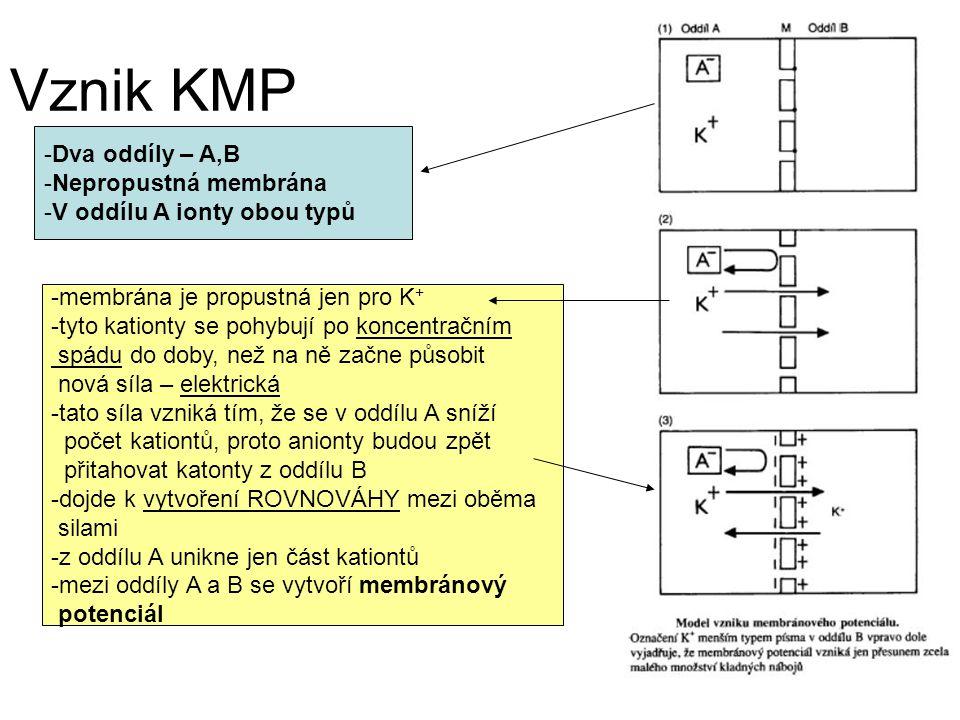 Vznik KMP -Dva oddíly – A,B -Nepropustná membrána -V oddílu A ionty obou typů -membrána je propustná jen pro K + -tyto kationty se pohybují po koncentračním spádu do doby, než na ně začne působit nová síla – elektrická -tato síla vzniká tím, že se v oddílu A sníží počet kationtů, proto anionty budou zpět přitahovat katonty z oddílu B -dojde k vytvoření ROVNOVÁHY mezi oběma silami -z oddílu A unikne jen část kationtů -mezi oddíly A a B se vytvoří membránový potenciál