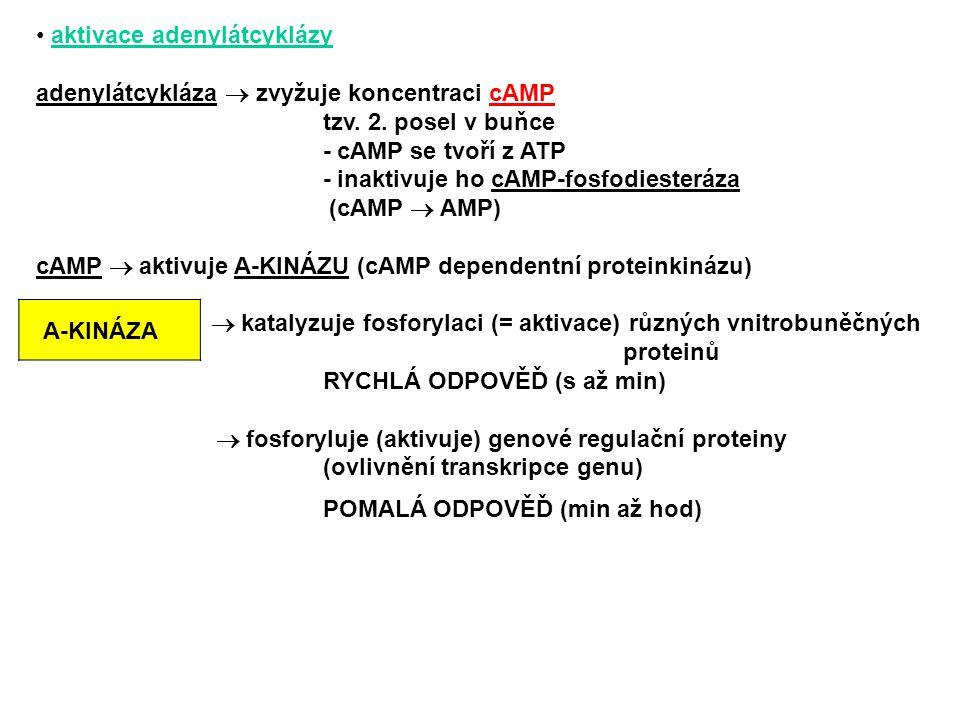 aktivace adenylátcyklázy adenylátcykláza  zvyžuje koncentraci cAMP tzv. 2. posel v buňce - cAMP se tvoří z ATP - inaktivuje ho cAMP-fosfodiesteráza (