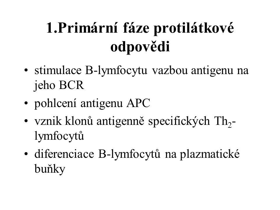 1.Primární fáze protilátkové odpovědi stimulace B-lymfocytu vazbou antigenu na jeho BCR pohlcení antigenu APC vznik klonů antigenně specifických Th 2