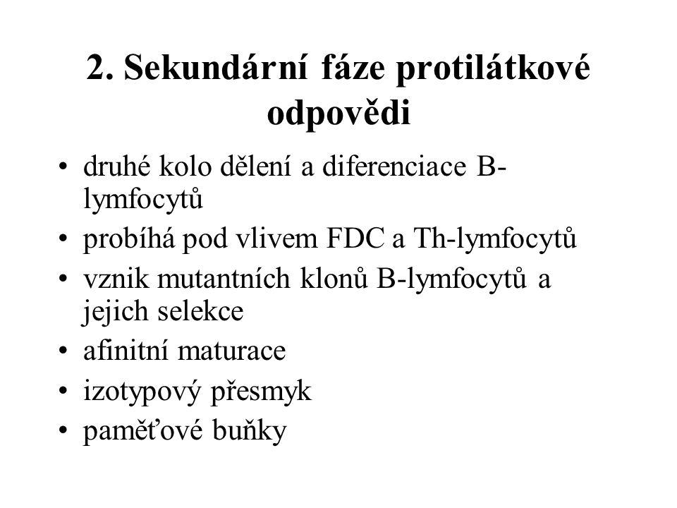 2. Sekundární fáze protilátkové odpovědi druhé kolo dělení a diferenciace B- lymfocytů probíhá pod vlivem FDC a Th-lymfocytů vznik mutantních klonů B-