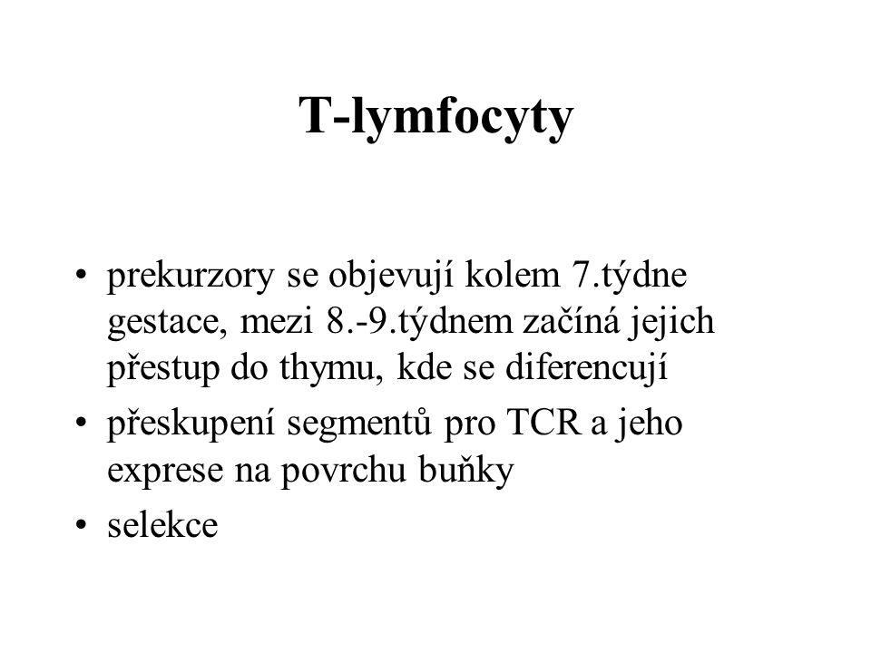 T-lymfocyty prekurzory se objevují kolem 7.týdne gestace, mezi 8.-9.týdnem začíná jejich přestup do thymu, kde se diferencují přeskupení segmentů pro