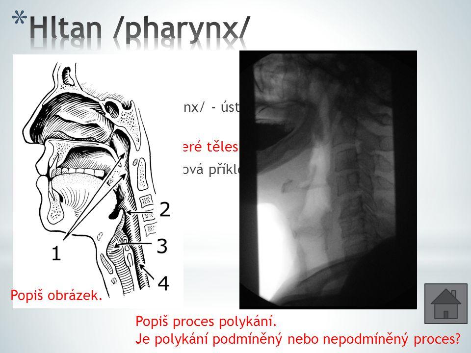 3 části: * Nosohltan /nasopharynx/ - ústí sem ze středního ucha Eustachova trubice * Ústní část hltanu – které tělesné soustavy se zde kříží.