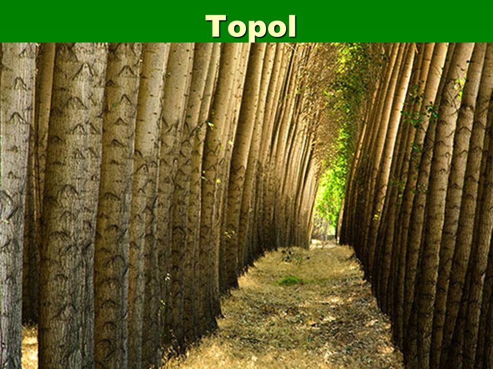 Topol