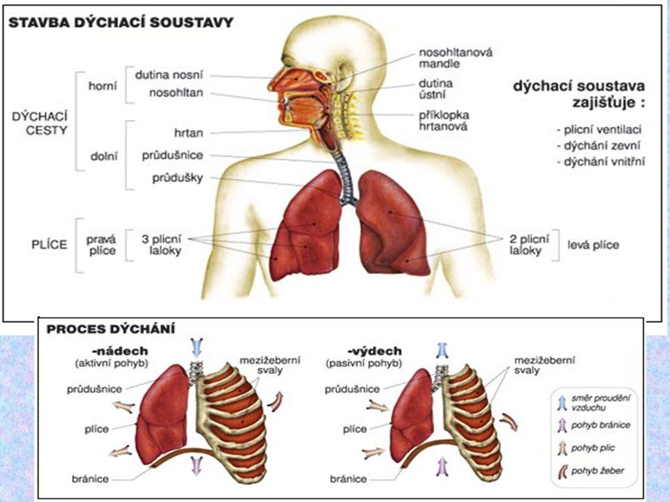 Rozvod (transport) dýchacích plynů Obstarává krevObstarává krev Je oboustranný – do tkání O 2, z tkání CO 2Je oboustranný – do tkání O 2, z tkání CO 2 Přenos kyslíku – hemoglobin – červené krevní barvivo – obsažen v červených krvinkách (erytrocytech)Přenos kyslíku – hemoglobin – červené krevní barvivo – obsažen v červených krvinkách (erytrocytech)
