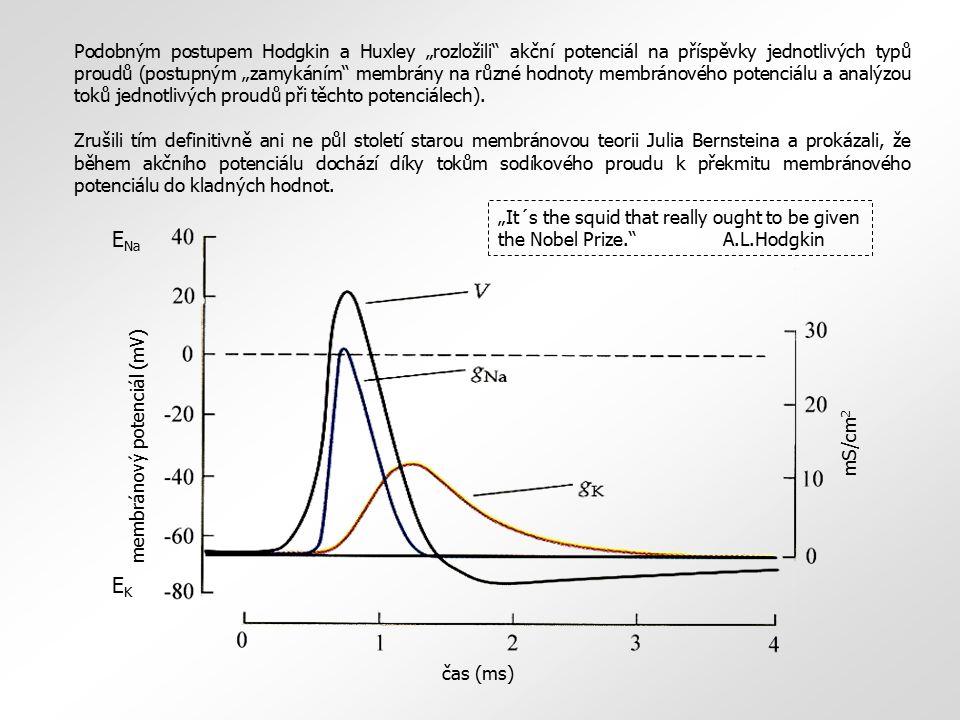 """mS/cm 2 membránový potenciál (mV) E Na EKEK čas (ms) Podobným postupem Hodgkin a Huxley """"rozložili"""" akční potenciál na příspěvky jednotlivých typů pro"""