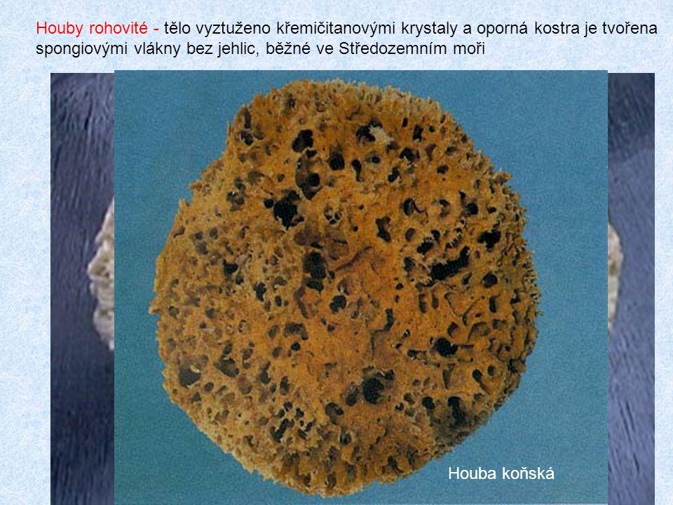11 Houba mycí Houby rohovité - tělo vyztuženo křemičitanovými krystaly a oporná kostra je tvořena spongiovými vlákny bez jehlic, běžné ve Středozemním