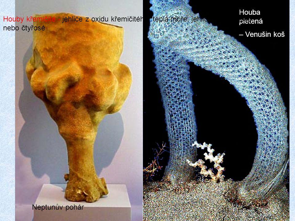 12 Neptunův pohár Houba pletená – Venušin koš Houby křemičité - jehlice z oxidu křemičitého, teplá moře, jehlice jsou trojosé nebo čtyřosé