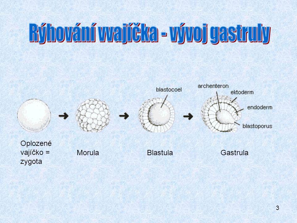 3 Oplozené vajíčko = zygota Morula Blastula Gastrula