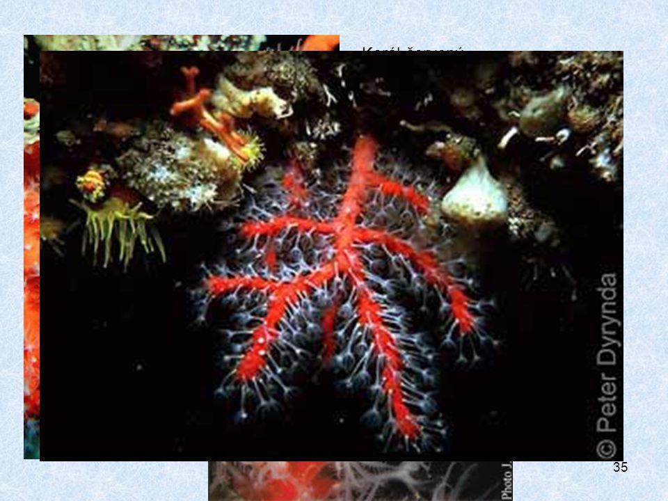 35 Korál červený