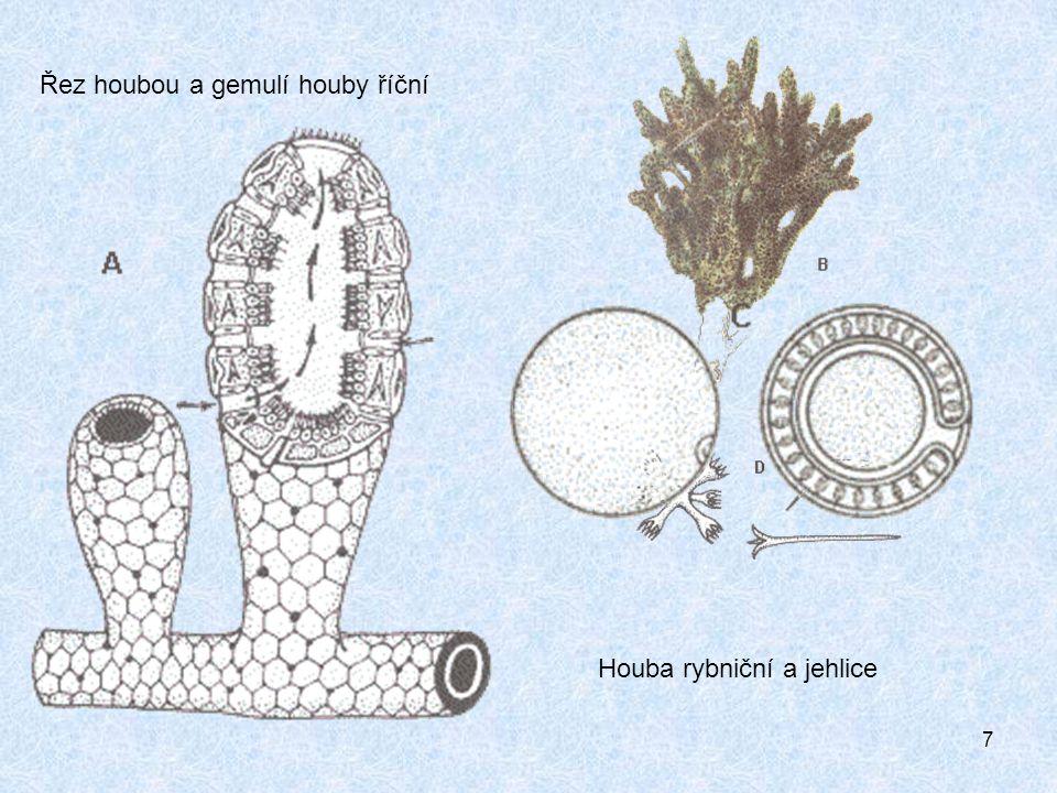 7 Houba rybniční a jehlice Řez houbou a gemulí houby říční