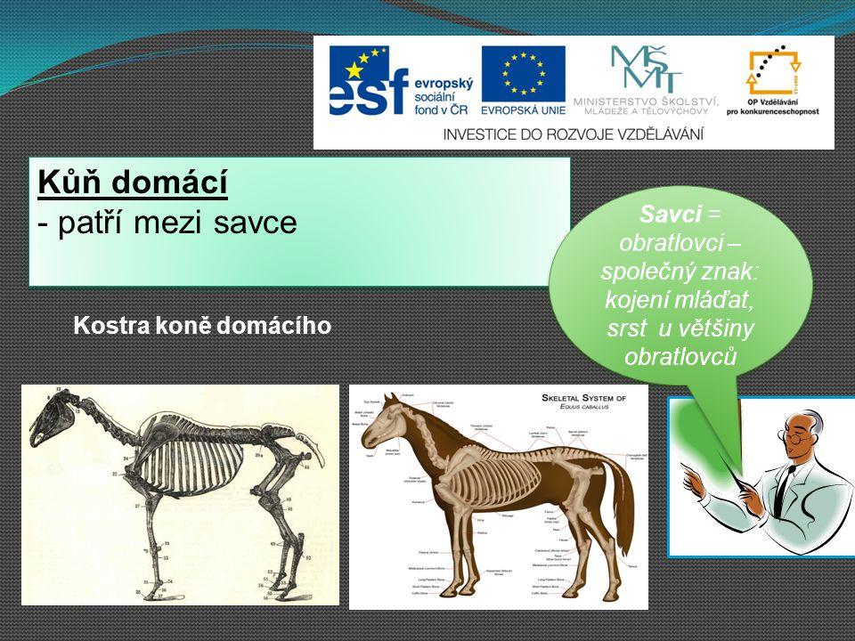 Kůň domácí - patří mezi savce Kůň domácí - patří mezi savce Savci = obratlovci – společný znak: kojení mláďat, srst u většiny obratlovců Savci = obrat