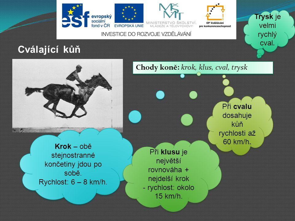 Cválající kůň Chody koně: krok, klus, cval, trysk Chody koně: krok, klus, cval, trysk Krok – obě stejnostranné končetiny jdou po sobě. Rychlost: 6 – 8