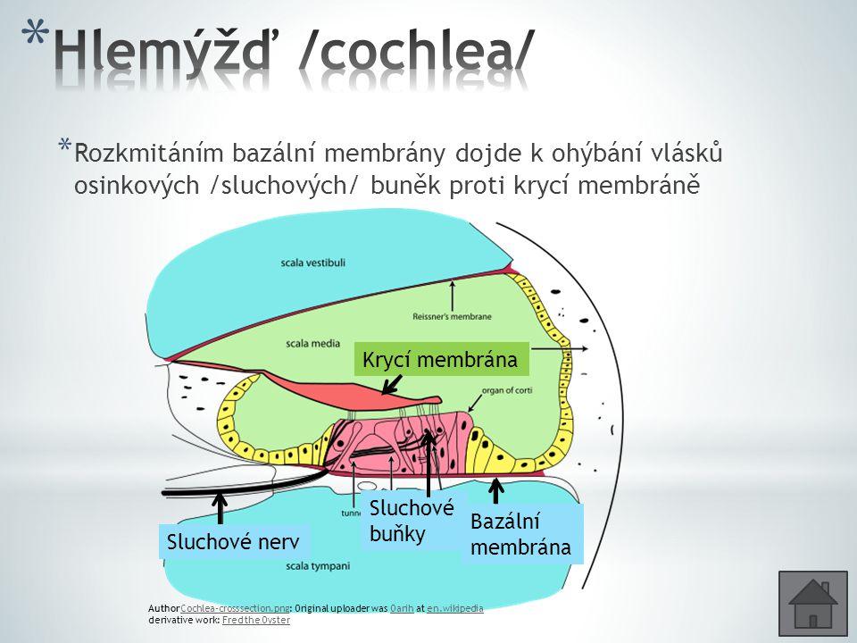 * Rozkmitáním bazální membrány dojde k ohýbání vlásků osinkových /sluchových/ buněk proti krycí membráně AuthorCochlea-crosssection.png: Original uploader was Oarih at en.wikipediaCochlea-crosssection.pngOarihen.wikipedia derivative work: Fred the OysterFred the Oyster Krycí membrána Bazální membrána Sluchové buňky Sluchové nerv