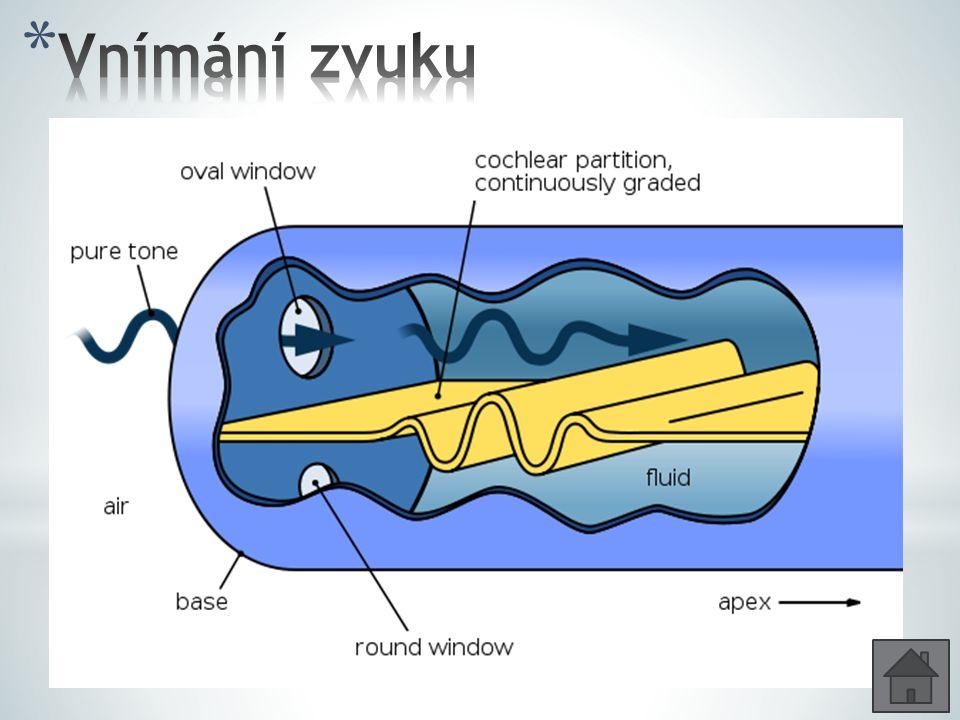 * Kmity v bubínku se přenesou sluchovými kůstkami na oválné okénko a pak na perilymfu * Chvění perilymfy působí zespodu na bazální membránu, která se rozkmitá * Bazální membrána je rozkmitána endolymfou v různé vzdálenosti od třmínku v závislosti na frekvenci tónu * Sluchové buňky narážejí na krycí blanku a tím dojde k podráždění * Hlubší tóny rozechvívá membrána v koncových závitech, vyšší tóny v počátečních závitech * Sluchový nerv vede do spánkového laloku mozkové kůry